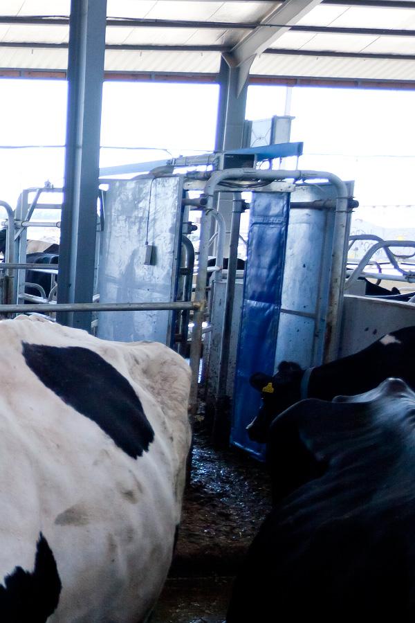 """Хозяйство """"Терезино"""" - молочная ферма Макдоналдса"""