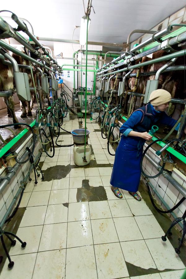 Современная молочная ферма в Харьковской области
