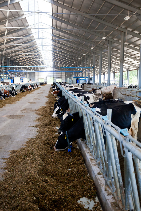 """Господарство """"Терезине"""" - молочна ферма Макдональдза"""