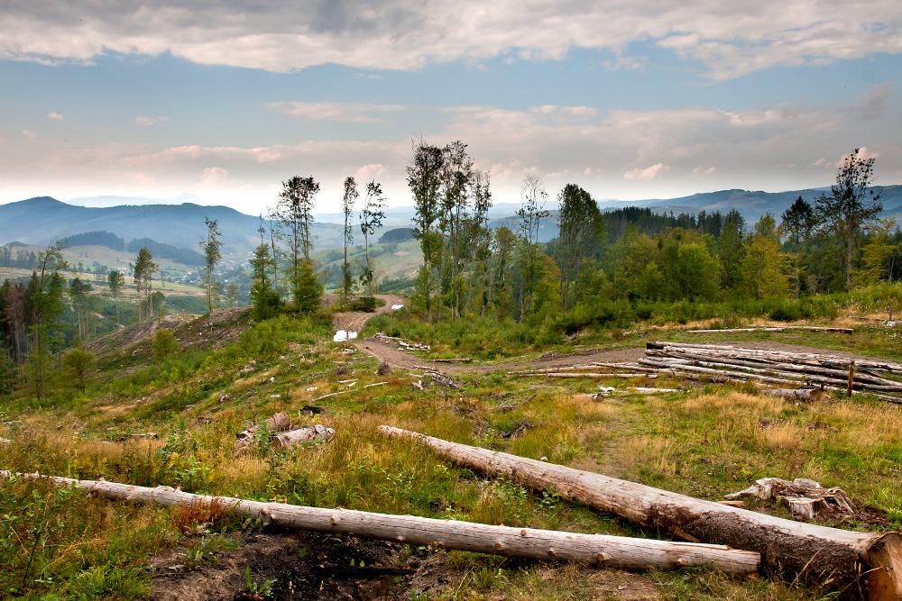 О вырубке леса замолвлю я слово...